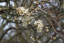 Blackthorn blossom  1 April 2016